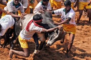 Bull tamers try to control a bull during the bull-taming sport called Jallikattu, in Alanganallur. Jallikattu is an ancient heroic sporting event of the Tamils played during the harvest festival of Pongal.